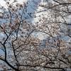 桜と葉ボタンと大地のちから