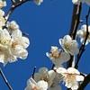 梅の花が 見事に咲いてます!