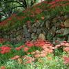 加納城跡に咲く彼岸花2021。