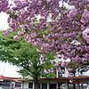 北本東幼稚園の欅と八重桜