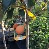 柿の木ほしいな