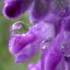 アメジストセージの水滴