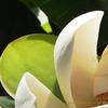 香りの花 ホオノキ(朴ノ木)magnolia obovata