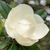 タイサンボク 泰山木(Magnolia grandiflora)