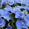 W杯 汗に紫陽花 青く咲き