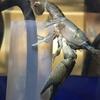 Procambarus vasquezae 脱皮!