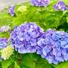 暑さで浮ついた心を紫陽花の写真で鎮める