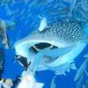 【あっぷるどぅまんどぅ】シュノーケルでジンベイザメと泳ぐ【沖縄 観光】
