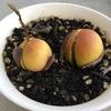 アボカドの種が芽を出してくれた!