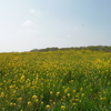 草原の一本道を抜けて菜の花畑へサイクリング。と、ピクニック。
