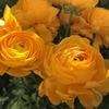 バラのような花がお手軽に! ラナンキュラス・早春のジュエリー