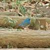雑木林での探鳥12月編は初見のルリビタキ