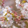桜の季節の小石川後楽園は、「先憂後楽」の名に違わない良き庭園でした