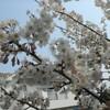 桜桃が咲く