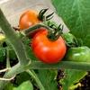 【家庭菜園】少しずつ収穫が出来てきました | 実は種類が豊富なミニトマト