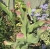 オクラ発芽とチューリップの葉
