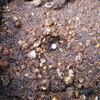 キャベツの種蒔き(サトウくん)