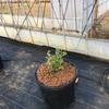 ブルーベリーの養液栽培設置開始