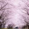 """""""お花見""""ピンク色の空の下"""