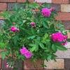 バラの植え替えとその後の開花