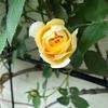 バラの季節を楽しもう