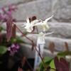 実生からイカリソウの開花