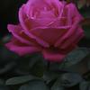 人の名が付いた薔薇