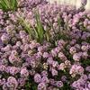 今年も一面にピンクの小花が満開! 3年目のタイム・ロンギカウリス!
