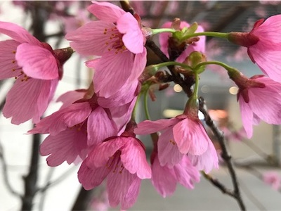 お彼岸を過ぎました〜寒桜「もう春ですよ、春ですよ〜」〜