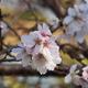 やっと撮ってきました十月桜「後編」