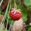 ワイルドストロベリーの花が咲かないときの対処法とは?