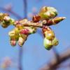 聖崎公園の梅