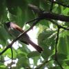 石神井公園の野鳥 サンコウチョウ・メボソムシクイ他 2021年5月23日