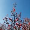【散歩】小田原フラワーガーデンの「渓流の梅園」咲き始めていますよ