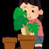 エバーフレッシュを挿し木にするよ。ウンベラータの挿し木も成長中。