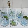 マンゴーの栽培 3.水栽培から土栽培へ
