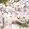 待ちに待った!2年越しの吉野の桜