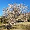 この時期に桜が満開に咲いてる ( ^ω^)ワクワク