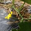 ウリ科の野菜、生長中