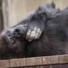 ニシローランドゴリラ Gorilla gorilla gorilla