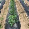 今日の午後はチャレンジ農業と枝豆の定植