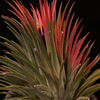 【Tillandsia ionantha 'Curly Giant'】開花 その2