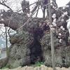 山梨、青空の下で神代桜は満開