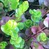 春の訪れと若葉の芽吹き!2年目のリシマキア・オーレア、紅葉から緑が広がるまで