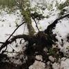 大風で倒れたレッドアルダー