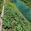 ダンキョ(=辣韮)の収穫