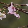 咲いていました。十月桜 2019.10.18