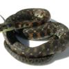 ヤマカガシとマムシの違い&ヘビ咬傷の治療