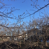 桜のつぼみが膨らんできましたね。