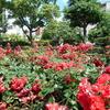 神戸市中央区の山手バラ園(山手街園)が超見頃で開花してるぜっ!!【兵庫県神戸市】